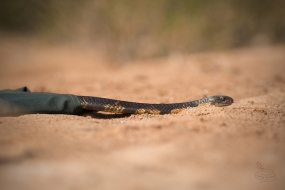 snake-rescue-call-30